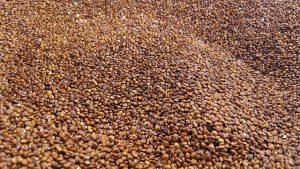 ziarna komosy ryżowej