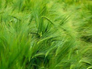 kłosy zielonego jęczmienia