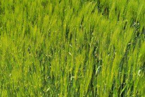 barley 784402 640