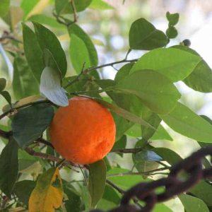 owoc gorzkiej pomarańczy