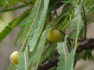 amla owoce