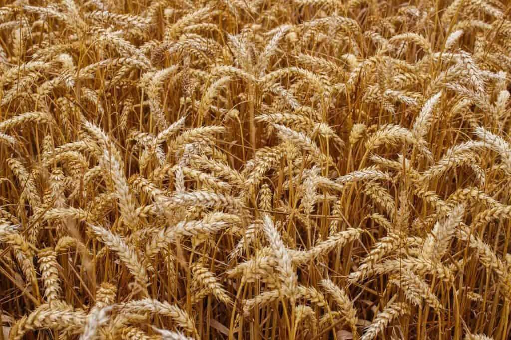 zboże rosnące na polu