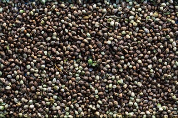 nasiona konopi siewnych