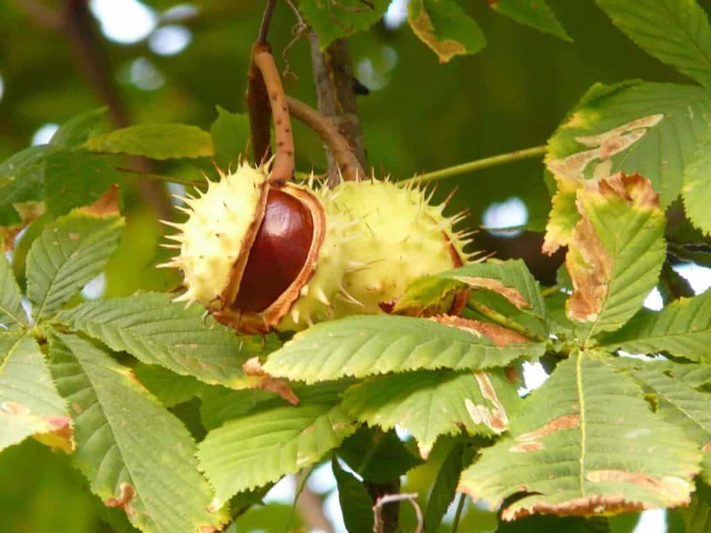 kasztany na drzewie