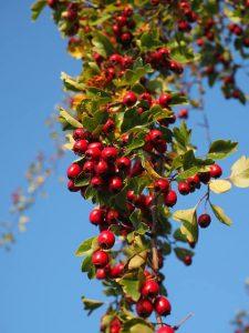 owoce głogu rosnące na krzaku