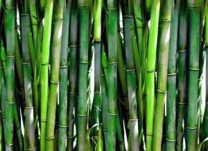 pędy bambusa tajskiego