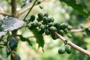 owoce zielonej kawy na gałęzi